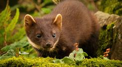 Give the Pine Marten a break