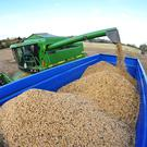 Contractor Michael Nolan harvested Fuego variety beans recently for Stephen Kelly, Booldurragh, Fenagh, Co Carlow. Photo: Roger Jones