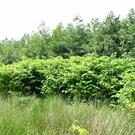 Japanese Knotweed is a very resilient weed whose roots can spread nine metres wide and three metres deep