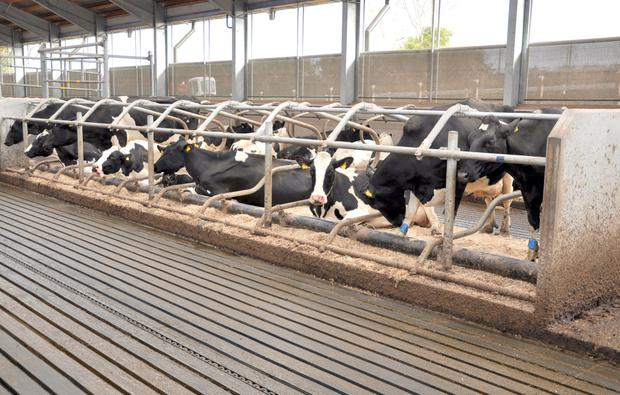 The cubicles for the milkers are in single rows with no walls to block vision. The brisket board is also moveableto suit different sizes of cows. The flooring is rubber coated concrete with grooves to allow the manure waste to run down helped by chain scraper.