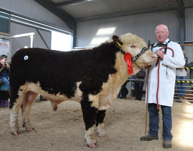 Padraig McGrath , Cloonshannagh, Elphin, with 'Kyle Harry 71' the highest price bull at the Hereford Society Premier Autumn Show and Sale at Tullamore.