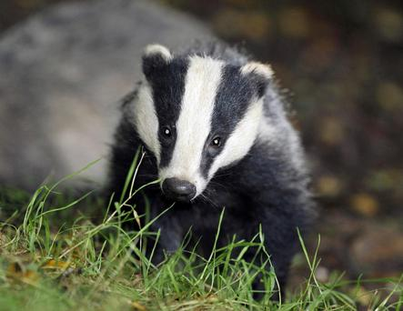 The vaccination of badgers is showing