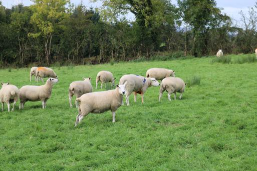 Three pedigree rams were introduced on October 1 to the Lleyn flock on the Richardson farm in Carrigallen, Co Leitrim
