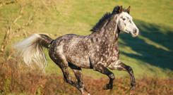 Carrick Kilderry's Diamond is a promising stallion son of Carrick Diamond Lad standing at Greaghwillan Stud