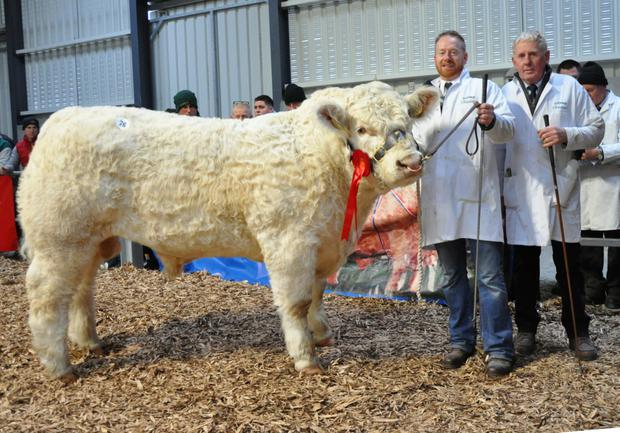 Barry and Michael Quinn, Newmarket-on-Fergus with Clenagh Lyle sold for €13,000 to the Burradon pedigree Charolais herd in Northumberland