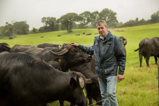 Johnny Lynch with his buffalo herd on the farm near Macroom, Co Cork; the buffalo milk is used for his Macroom Buffalo Mozzarella cheese brand and 10 people are now employed in the enterprise
