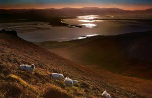 Sheep grazing as a winter's evening draws to a close on the Slieve Mish Mountains near Camp, looking towards the Iveragh Peninsula, in County Kerry PHOTO:Valerie O'Sullivan
