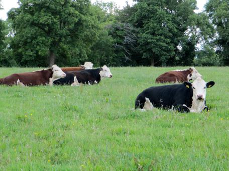 Herefords have been in the Branagan family since the 1930s