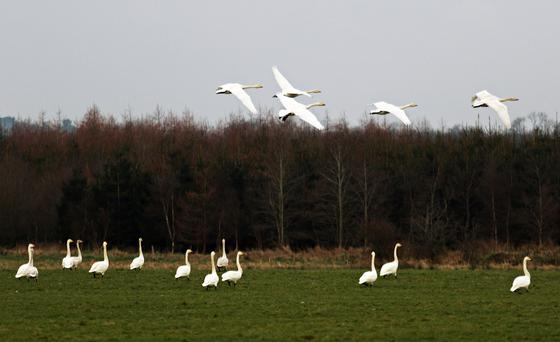 Swans fly over the land of Farmer Vincent Nally, Westmeath where hundreds of swans have congregated. Photo: Lorraine Teevan