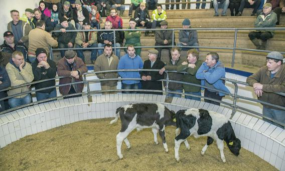 A surge in calf numbers expected from this week