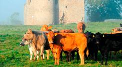 Cattle grazing at Ballyloughan Castle in Bagenalstown, Co Carlow. Photo: Roger Jones