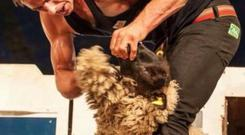 Ivan Scott broke the sheep shearing record