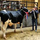 Padraic Murphy leading Goldenfield Remedy in the sales ring at Kilkenny Bull Sale where he achieved top price for the Holstein Friesians at €3,500.