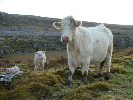 The Burren Live Project works with over 500 farmers to encourage sustainable agriculture including practices such as winter grazing on limestone grasslands and heaths