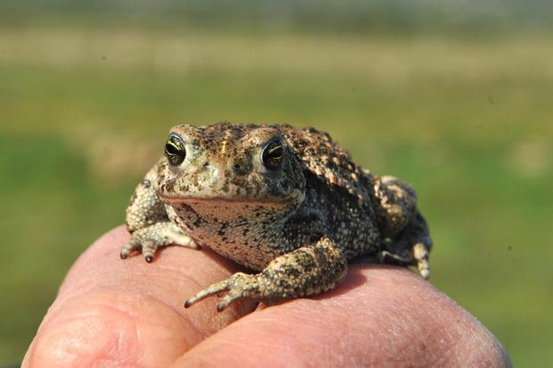 Up close with the natterjack. Photo: Don MacMonagle