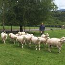 Simon Brown with the Lleyn flock on his farm near Graiguenamanagh, Co Kilkenny