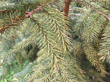 Damage caused by the green spruce aphid is very common this spring