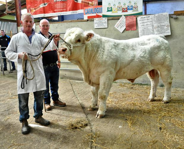Paul Fahy, handler, and Conal P Tiernan from Emlagh House, Elphin, Co Roscommon with his Charolais bull, Coshleens Milo.