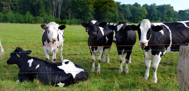 Severe parasite infections can reduce growth rates in calves by up to 30pc
