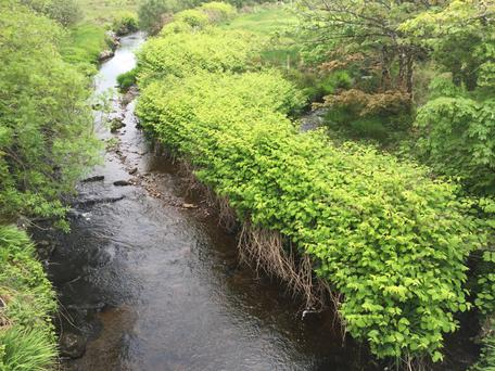 Japanese Knotweed infestation on the Coomnahorna River in Caherdaniel, Co Kerry Photo: Japanese Knotweed Company.com