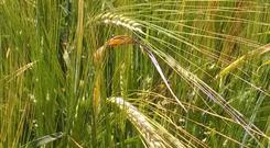 Unevenly ripening spring barley; crimping can allow crops to be harvested moist and crimped before storage