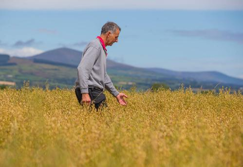 Des Thorpe checking on the organic oats. Photo: Patrick Browne