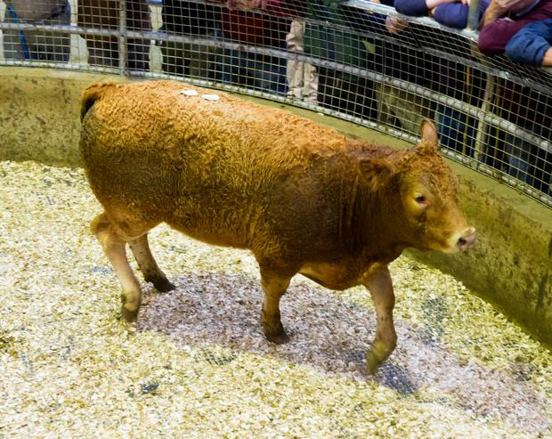 Limousin, weight 340kg, price €780