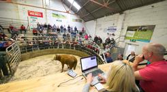 Auctioneer Jim bush in action during a sale. Photo: Patrick Browne