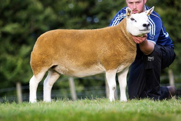 The female champion shown by Patrick O'Keefe, Mallow, Co Cork