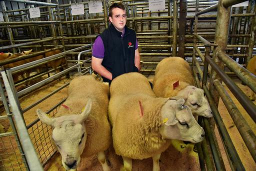 Darragh Cunniffe, Horseleap, Tuam with his Texel rams at the Sheep Ireland sale at GVM, Tullamore.