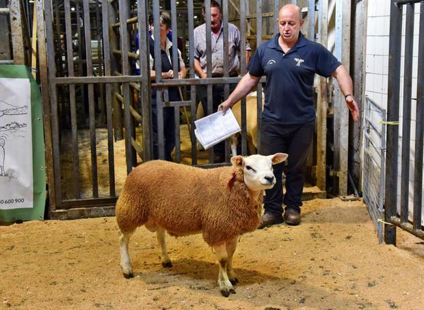 Alex Clarke, Boyerstown, Navan with his Texel ram in the ring before he was sold for €580