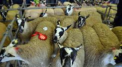 A winning pen of sheep at the Mayo Mules and Greyface Breeders Show and Sale at Ballinrobe Mart