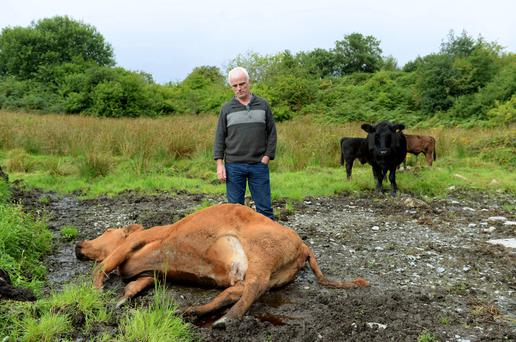 Farmer Martin Grant pictured with one of his father-in-law's dead cows. He also lost another cow and a calf. Ballymagowan, Donegal. Photo: Caroline Quinn