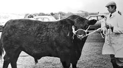 Kilkelly Ulick, bred in Co Mayo, and exported to the US in 1988, was bred by the sire, Highland Colossal which was in quarantine at Spike Island, after being imported from the United States. Photo: Courtesy of Irish Angus Society