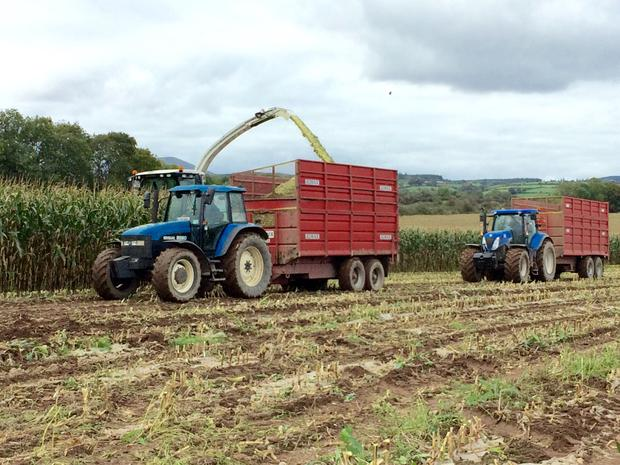 Cotters harvesting Maize in 2017