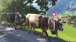 Swiss cattle come down from the mountain for their winter grazing, amid plenty of fanfare