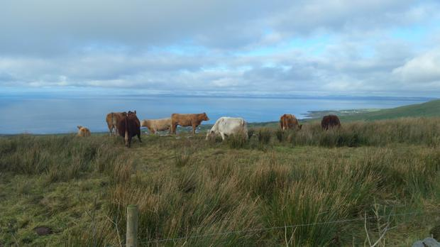 Cattle enjoy their winter grazing above Fanore