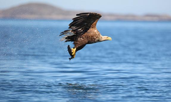 An adult White Tailed Eagle catches a fish to feed her chicks. Photo:Valerie O'Sullivan