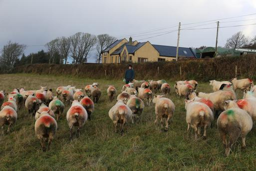 Michael Duffy with a batch of ewes that are all showing raddle marks
