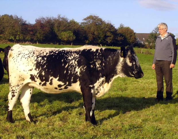 Michael Daly with a Speckled cow on his farm near Blarney, Co Cork