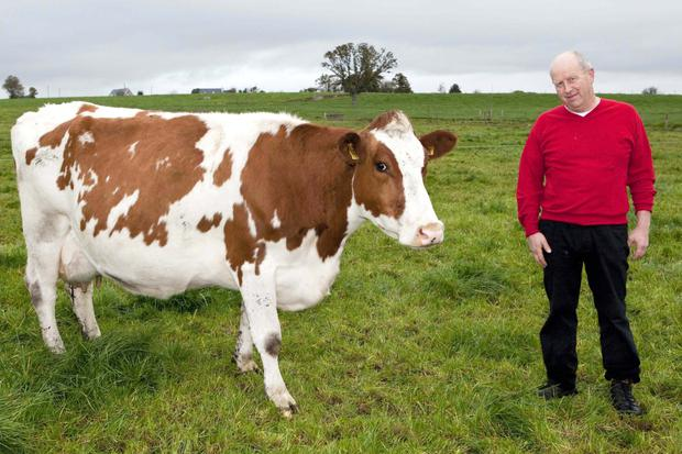 James Murphy with a Rotbunt cow on his farm at Glenville, Co Cork, where the breed has boosted milk solids