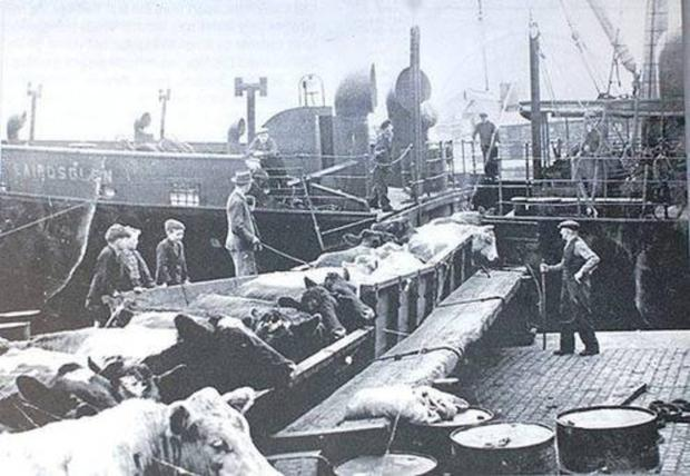Cattle being loaded at Dublin Port for export to Britain in the 1950s