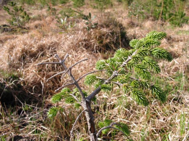 Severe phosphorus deficiency in Sitka spruce can also lead to low nitrogen availability in soils. Nutritional deficiencies can reduce stocking density. Photo: Teagasc