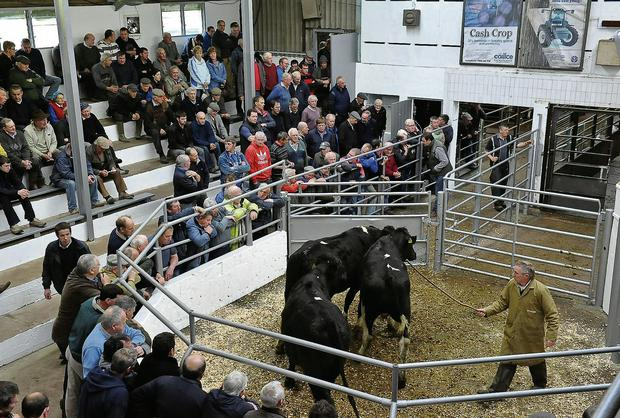 The one factor that nearly every mart commented on was the continuing large turnout of cull cows with some marts reporting that a third to half of all animals presented were cows