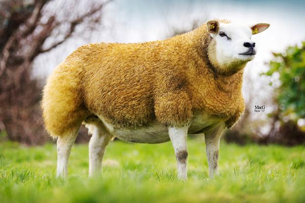Ronan Gallagher from Sligo achieved the top prices at Carrick-on-Shannon Mart for an in-lamb ewe sired by the prolific Shannagh Won-O-Won