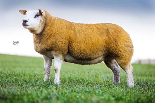 Ronan Gallagher from Sligo achieved the top prices at Carrick-on-Shannon Mart for this ewe, sired by the prolific Shannagh Won-O-Won