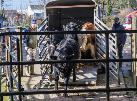 Cattle being unloaded at the mart. Picture: Pat Moore