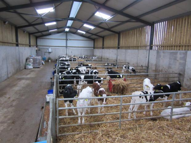 Teagasc said it would be purchasing Friesian and Angus calves for the Farm. Stock Image.