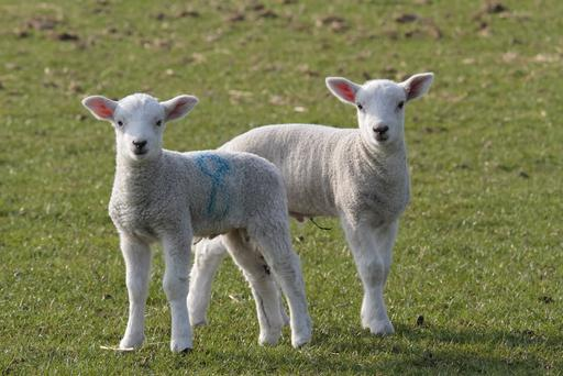 Around two-and-a-half million ewes will be lambing on 30,000 farms over the coming weeks