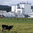 A cow in front of Fonterra Kauri plant
